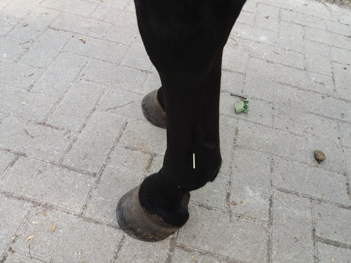 Akupunktur Pferd